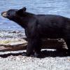 Black Bear Attack